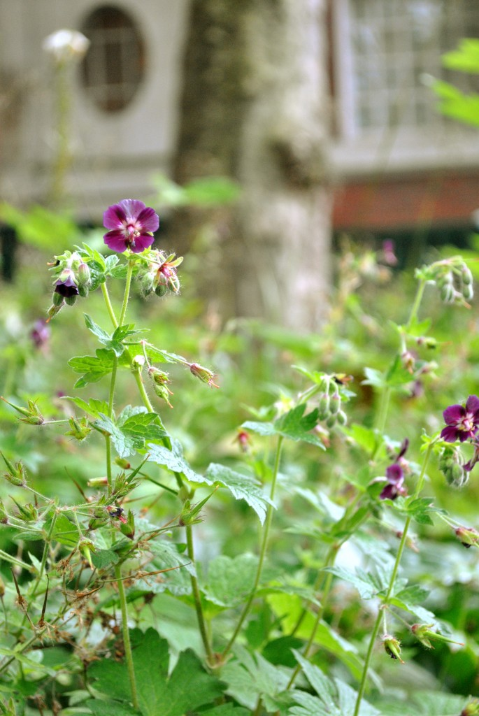 Geranium phaeum in london garden